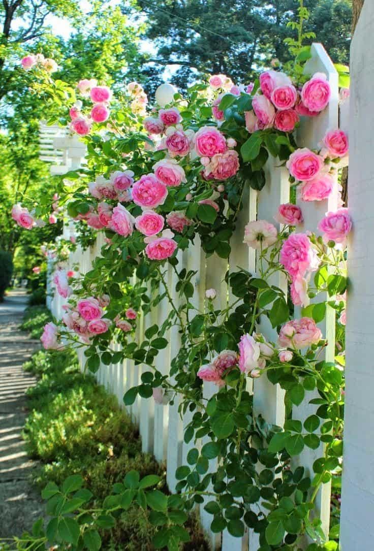Une belle haie de roses magnifiques chaque jour vous donnera une ambiance printanière