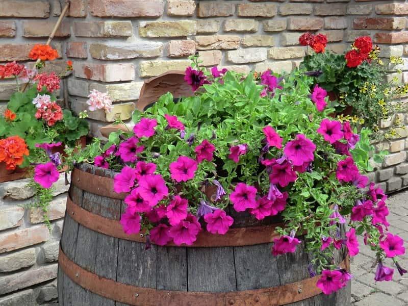 L'utilisation originale d'un vieux tonneau sous un beau jardin fleuri de pétunia