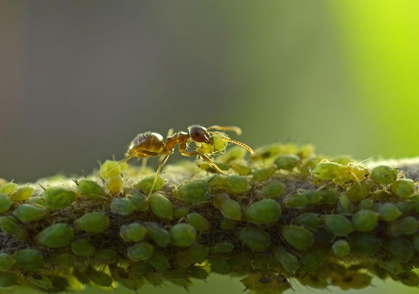 En plus de transporter les pucerons dans la fourmilière, les fourmis les propagent également à d'autres plantes.