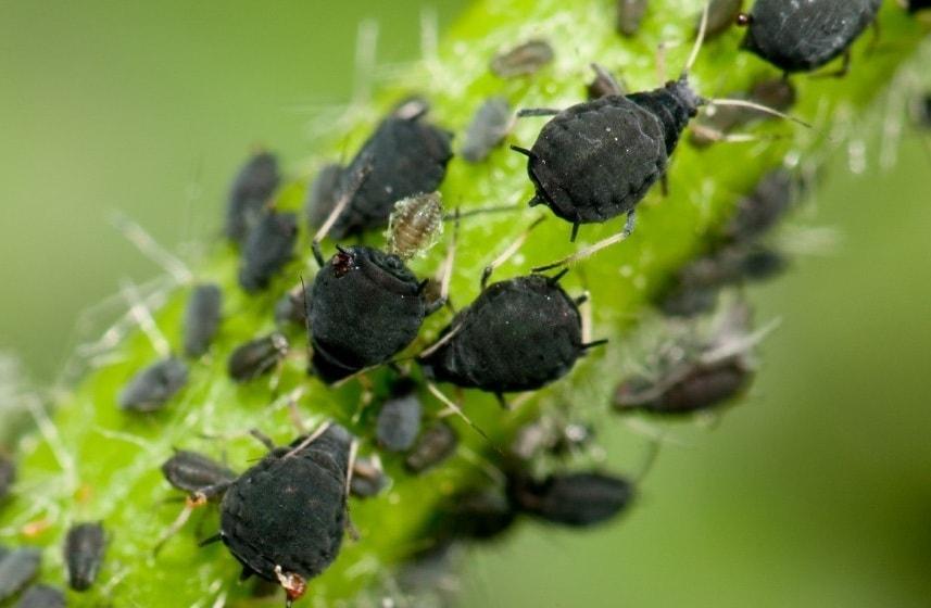 La présence de pucerons sur les feuilles et les tiges des plantes de votre potager causera des dommages irréparables à vos futures cultures.