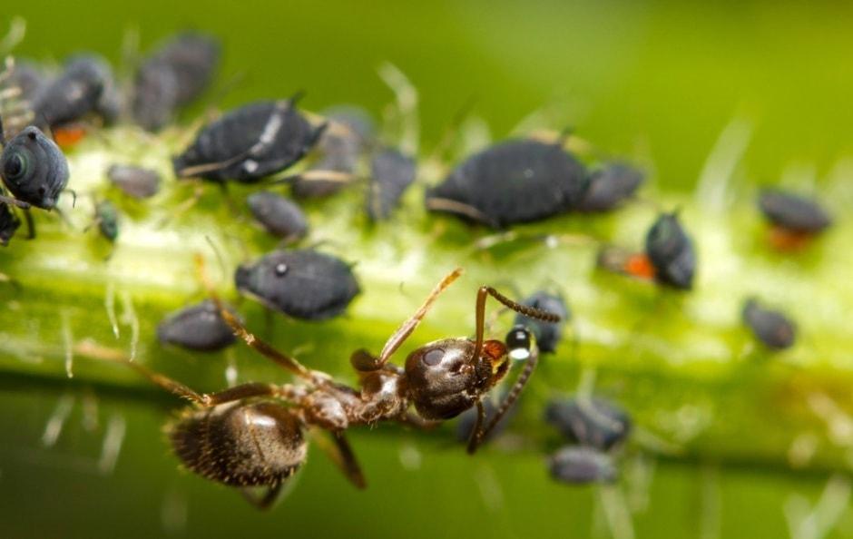 La symbiose entre les pucerons et les fourmis est considérée comme l'une des plus anciennes interactions entre insectes sur terre.
