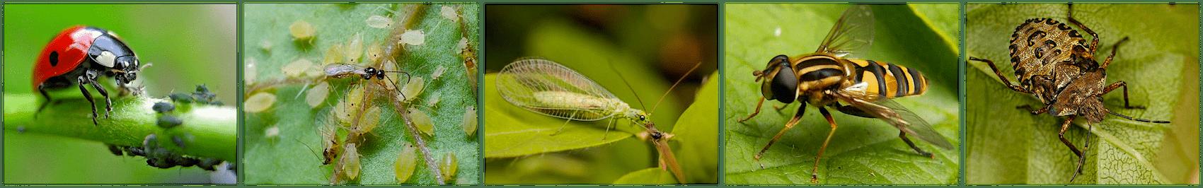 Insectes et pucerons.