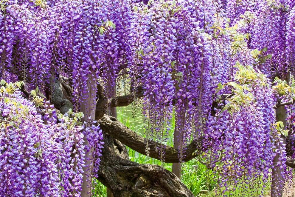 La glycine au pourpre et au violet délicat est la plus populaire pour la culture sous nos latitudes