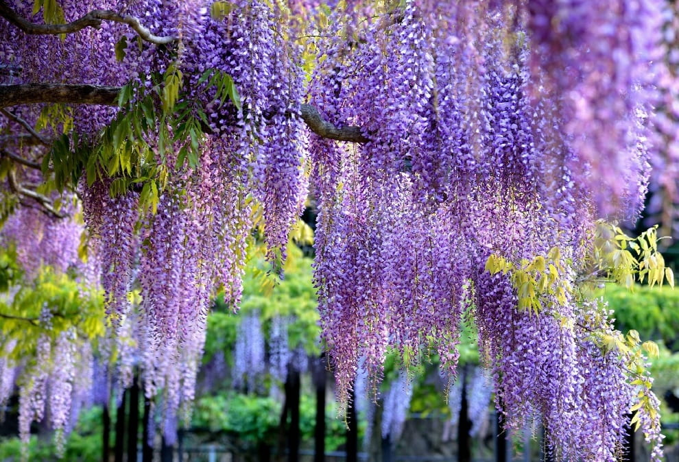 Glycine ornée et incroyablement belle en lilas