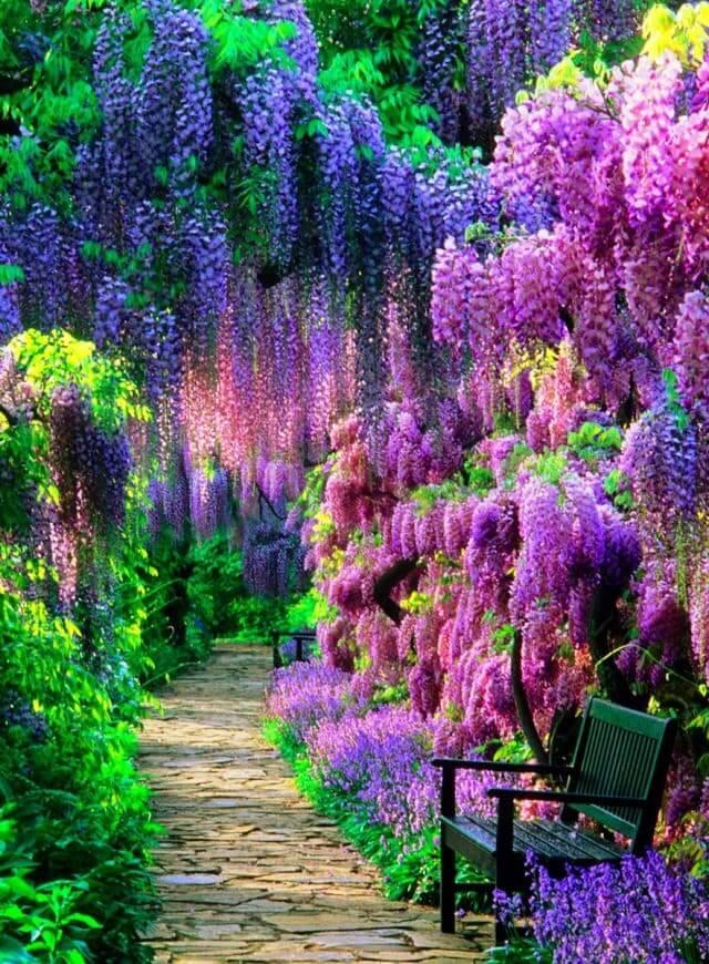 Magnifique jardin avec des glycines en fleurs de différentes teintes.