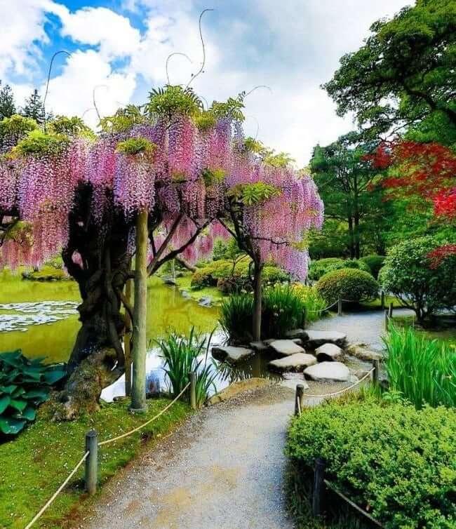 La glycine chinoise près de l'étang ajoutera des couleurs vives à votre jardin.