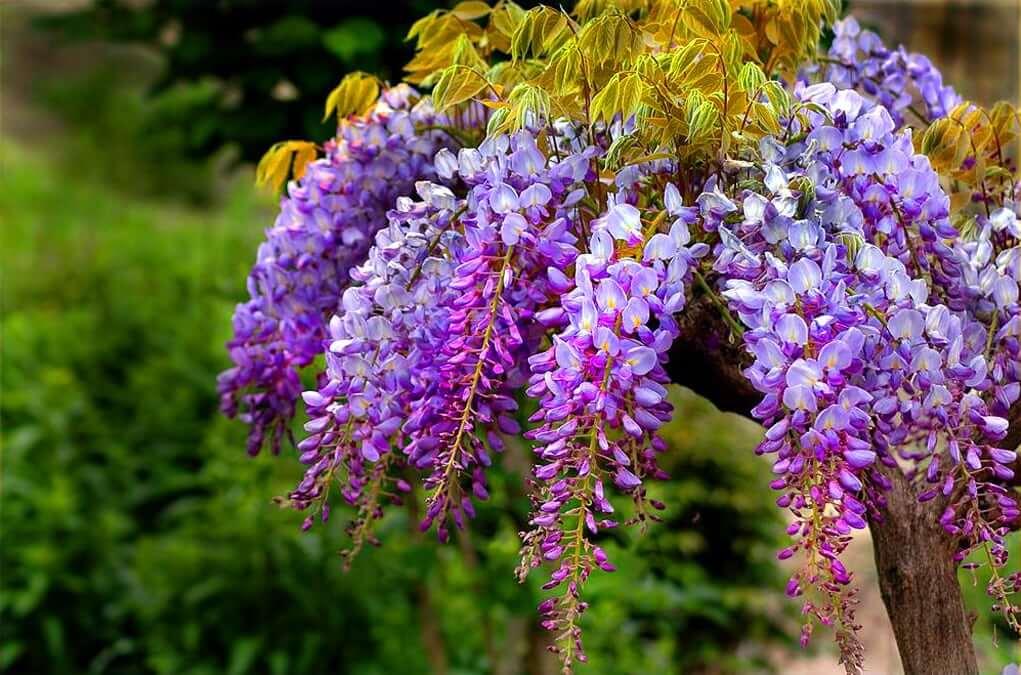 Les gracieux bouquets de glycines sont enchanteurs à première vue.