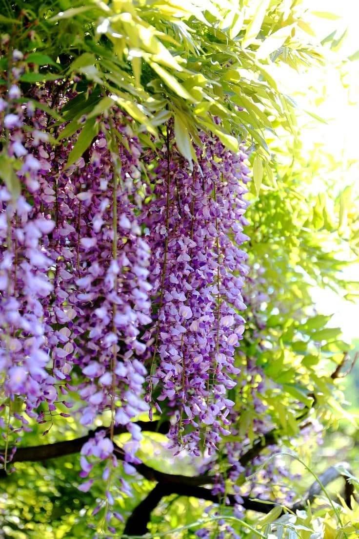 Certaines variétés de glycines ont une longue floraison