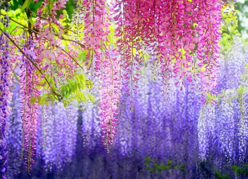 La glycine en fleur dégage un parfum agréable et léger.