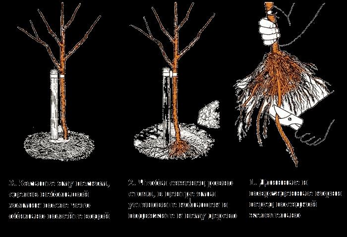 Plantation d'un plant de glycine
