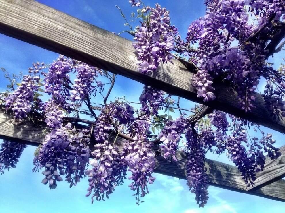 Des bouquets de lilas décorent joliment le toit du gazebo.