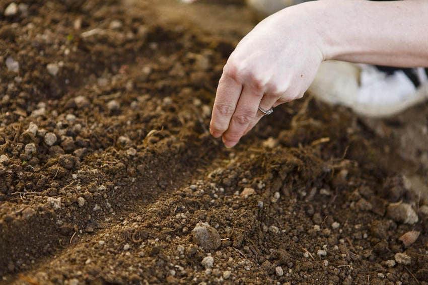 Малоплодородная, истощённая почва не годится для посадки и выращивания клеомы из семян