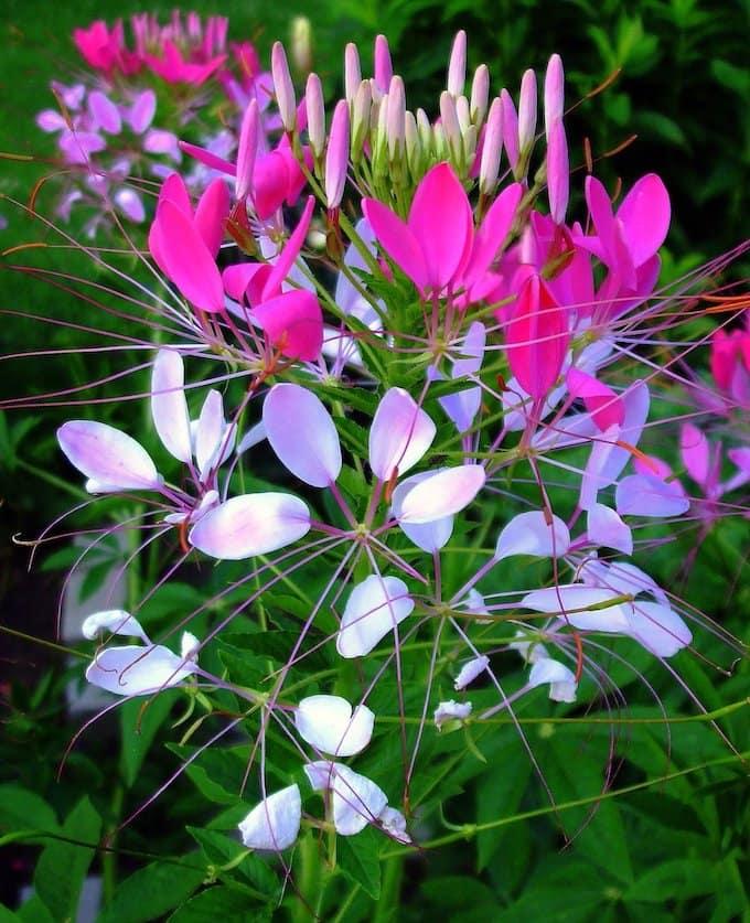 Пышное цветение клеомы станет украшением любого сада
