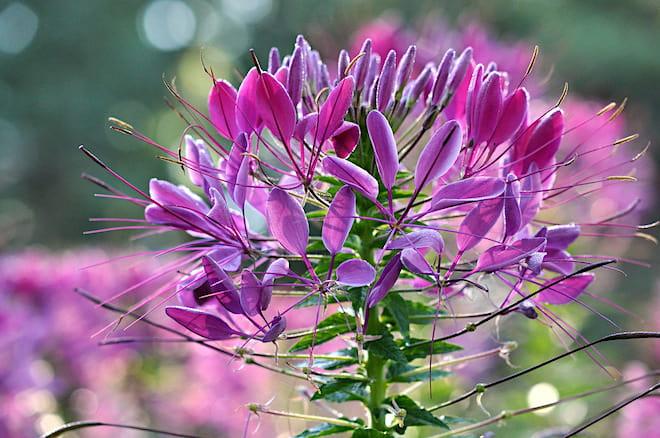 Фиолетовая королева (Violet Queen)