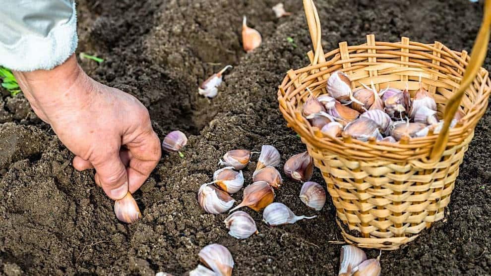 La deuxième quinzaine de septembre est la meilleure période pour semer l'ail d'hiver