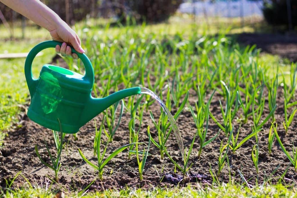 Nourrir l'ail contribue à sa bonne croissance et à son développement
