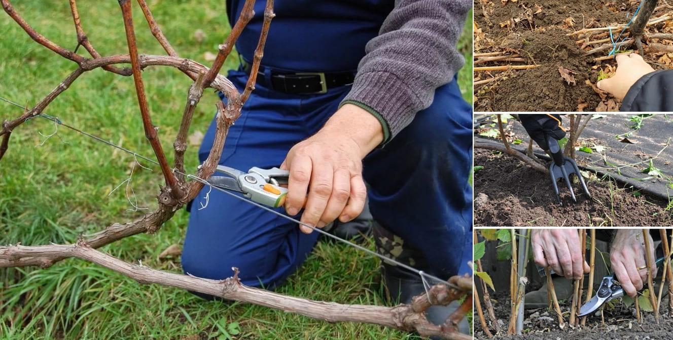 Осенний уход за виноградом так же важен, как и в весенне-летний период