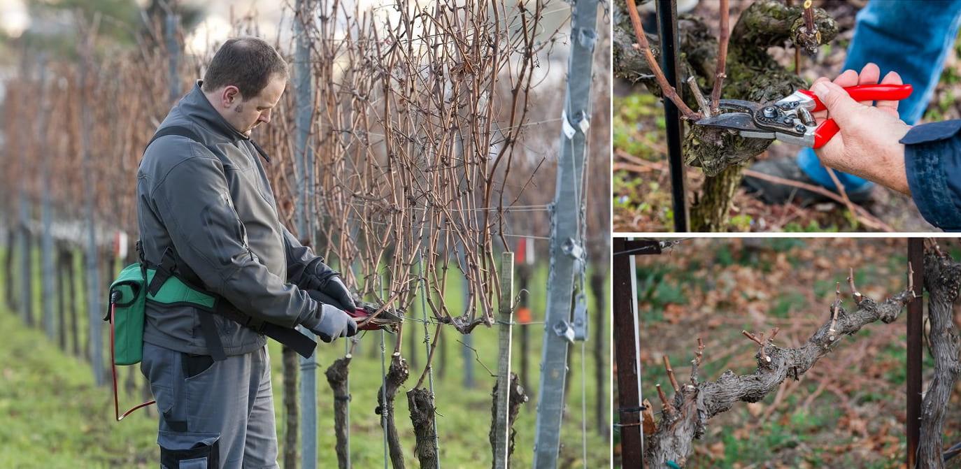 На фото наглядно показано как правильно обрезать побеги винограда