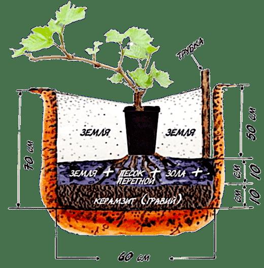 посадка и удобрение винограда