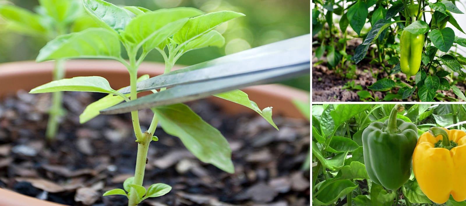 La germination des poivrons se fait à la main ou à l'aide de ciseaux conventionnels.