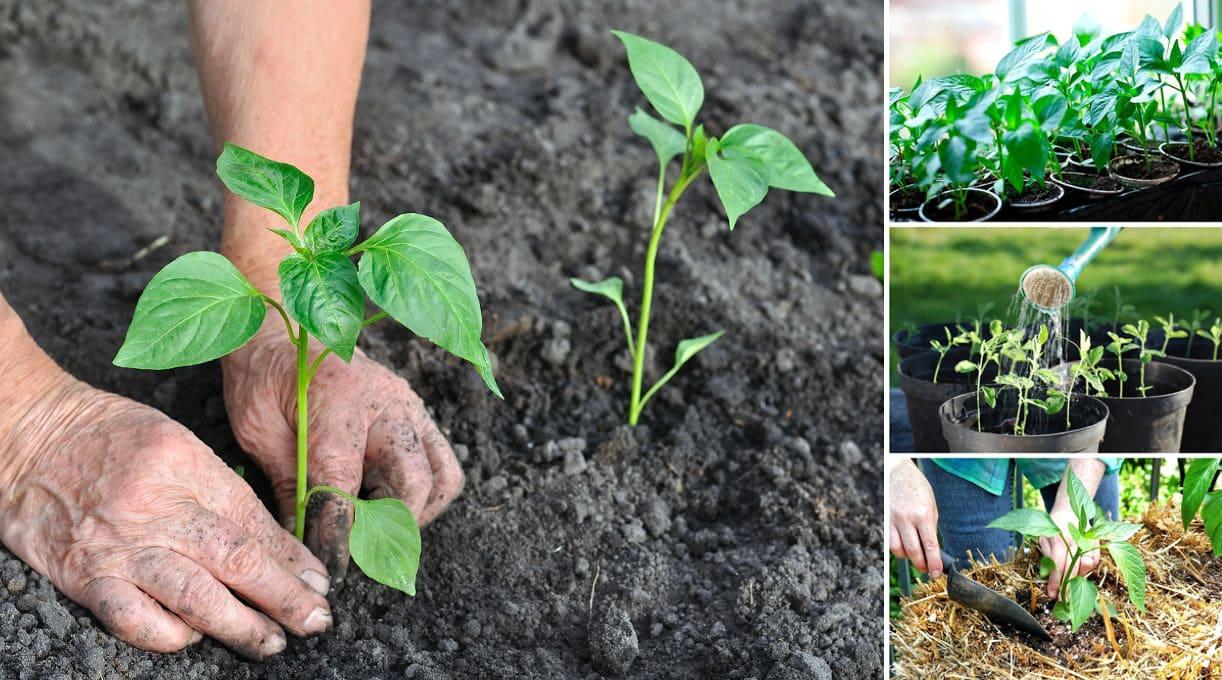 Planter des poivrons dans le sol