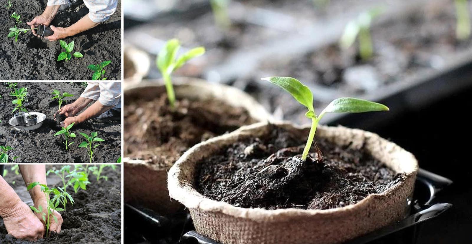 Avant de planter les poivrons en terre, le sol doit être bêché, bien ameubli et fertilisé.