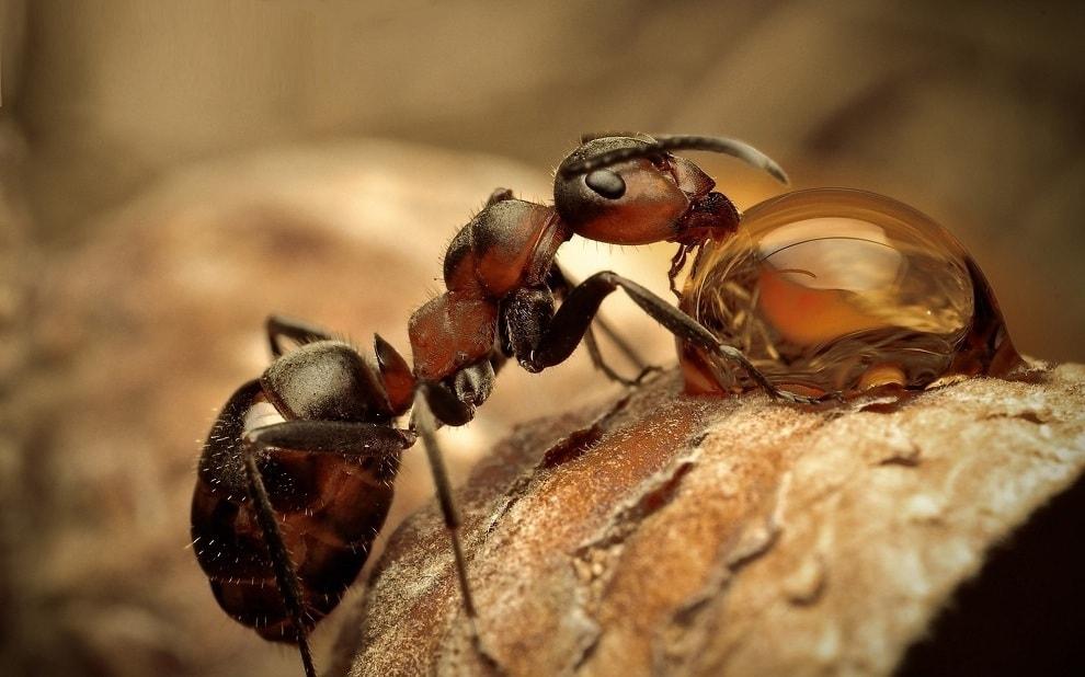 Отличительной чертой самки рыжих муравьев является её большой размер и наличие крыльев, которые она сбрасывает, когда заводит новую семью (колонию)