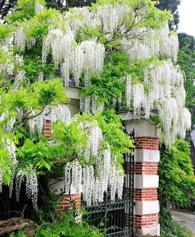 Белая глициния с пышным соцветием