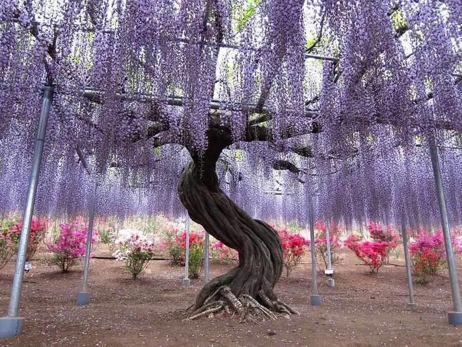 Китайское дерево глицинии порой поражает воображение своими размерами и красотой