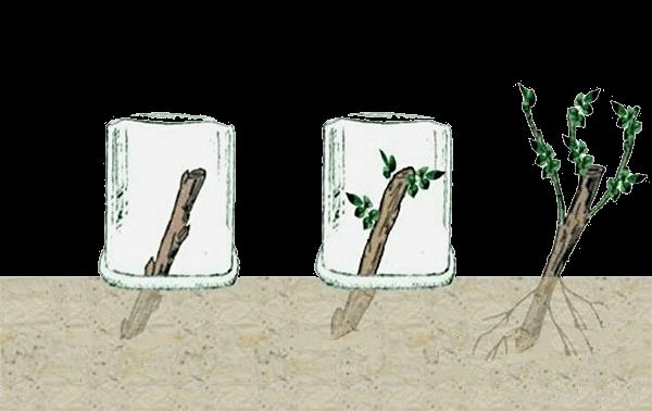 Выращивание глицинии методом черенкования