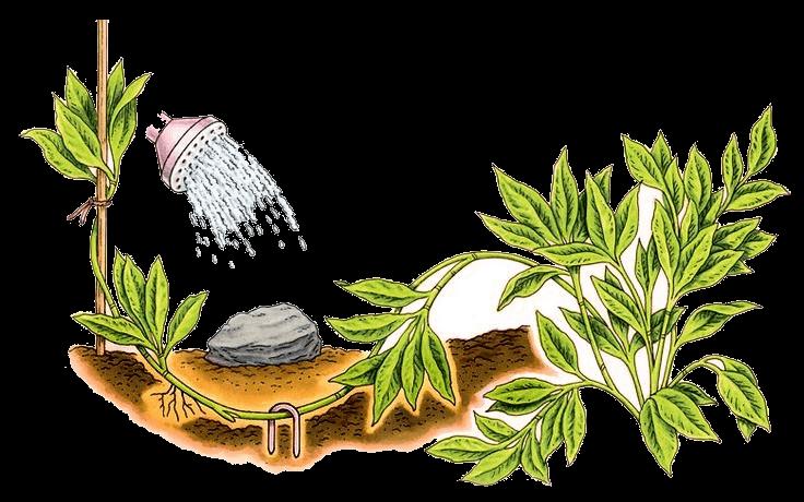 Пример размножения растений отводками