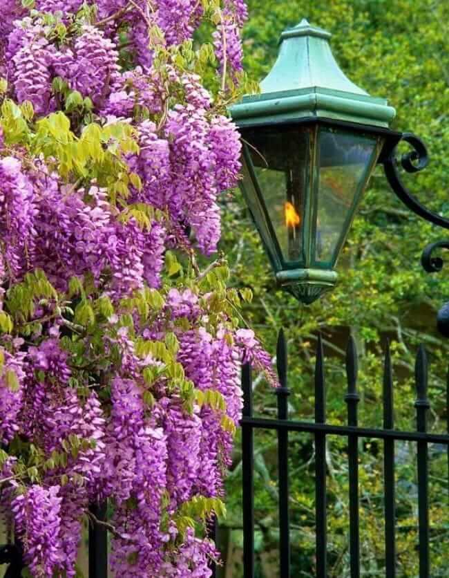 Красиво украсить свой участок можно, высадив дерево глицинии с парадной стороны забора
