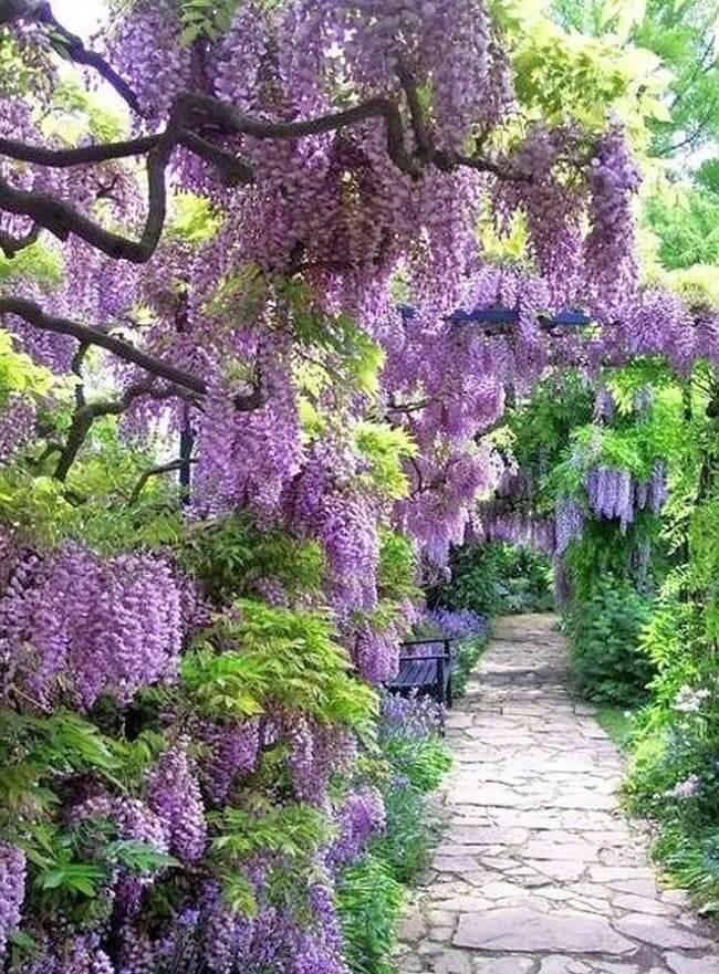Отдохнуть под красивыми и величественными ветвями глицинии - одно удовольствие