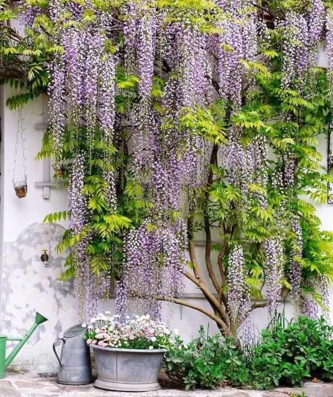 Прибив к стене решетку и подвязав к ней ветви молодой глицинии можно создать отличную композицию с эффектом ползущего по стене дерева
