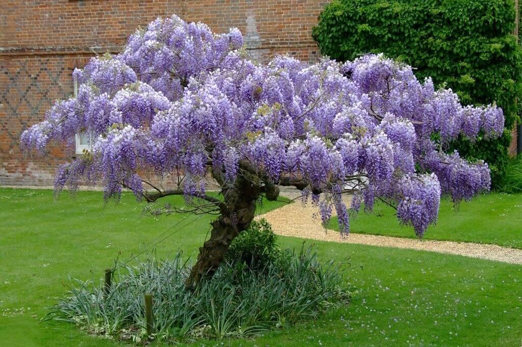 Карликовая глициния украсит небольшой сад