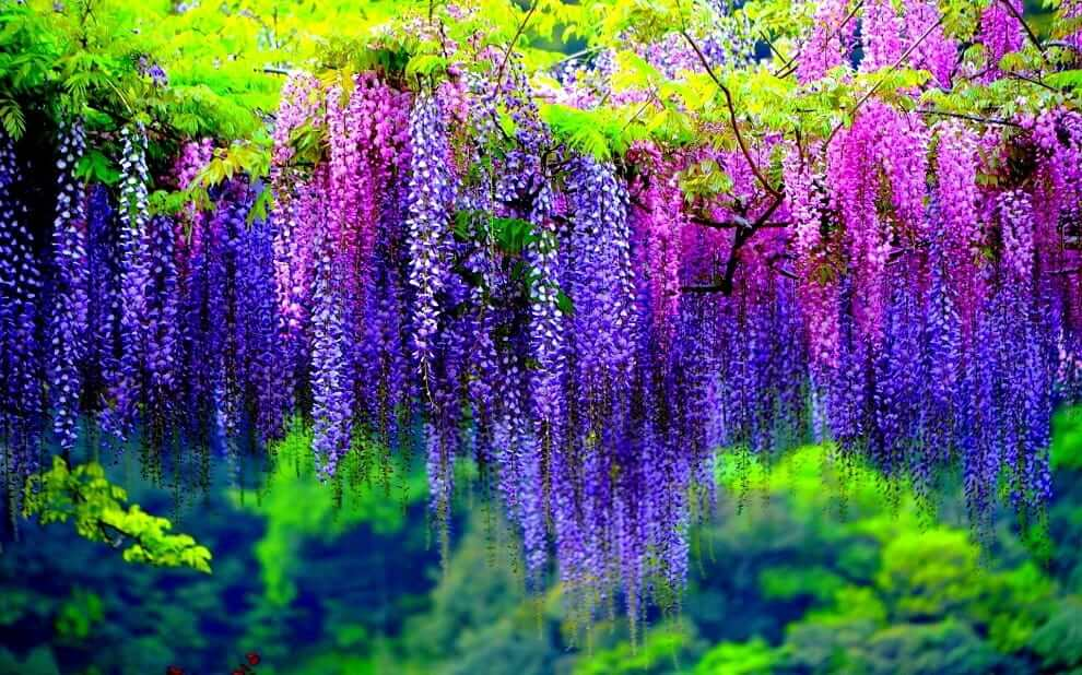 Радужные цвета глицинии