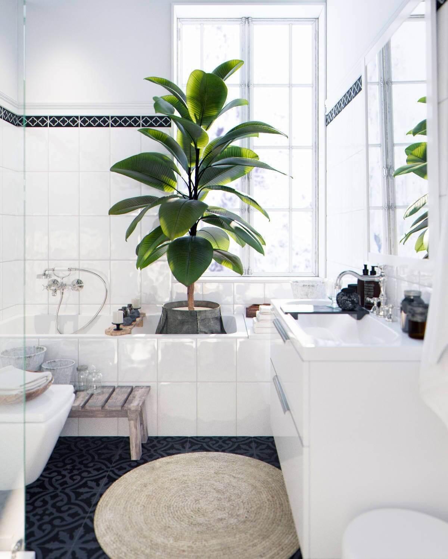 Фикус прекрасно себя чувствует в ванной, так как его широкие и красивые листья хорошо впитывают влагу