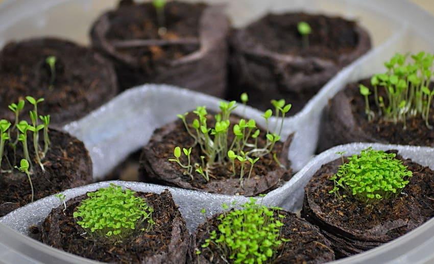 Рассада клеомы, как и многих других цветов и растений, любит свет и тепло