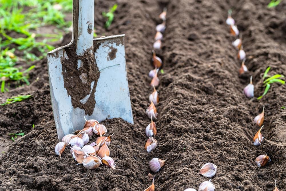 Глубина посадки чеснока - важный фактор от которого зависит его урожайность