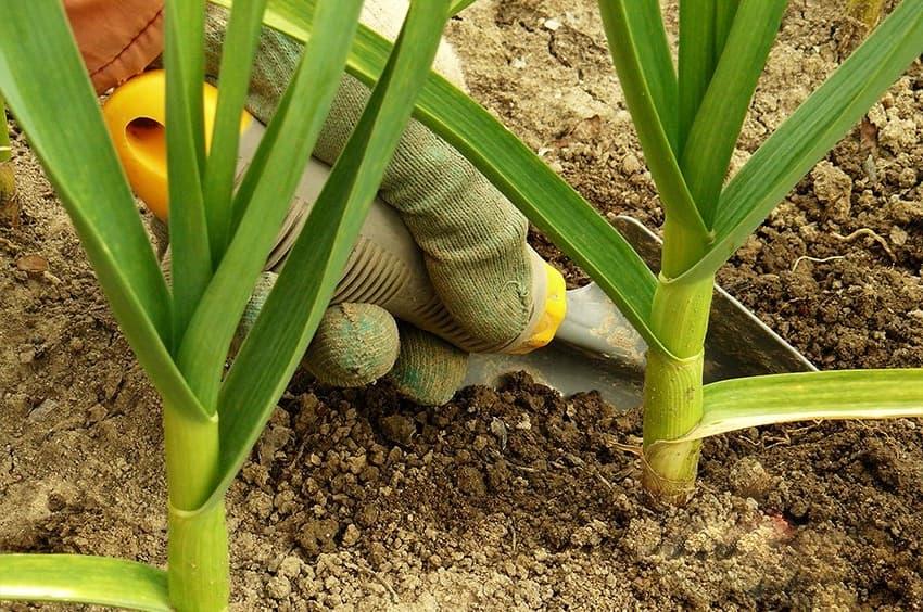 Перед тем как приступить к обработке почвы от вредителей её необходимо хорошенько взрыхлить