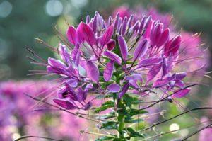 выращивание клеомы посадки и уход