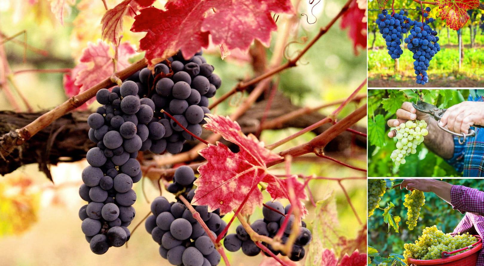 Виноград собирают преимущественно вручную, для сбора плодов на больших плантациях лучше использовать специальный сучкорез