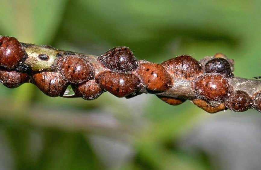 Щитовки винограда