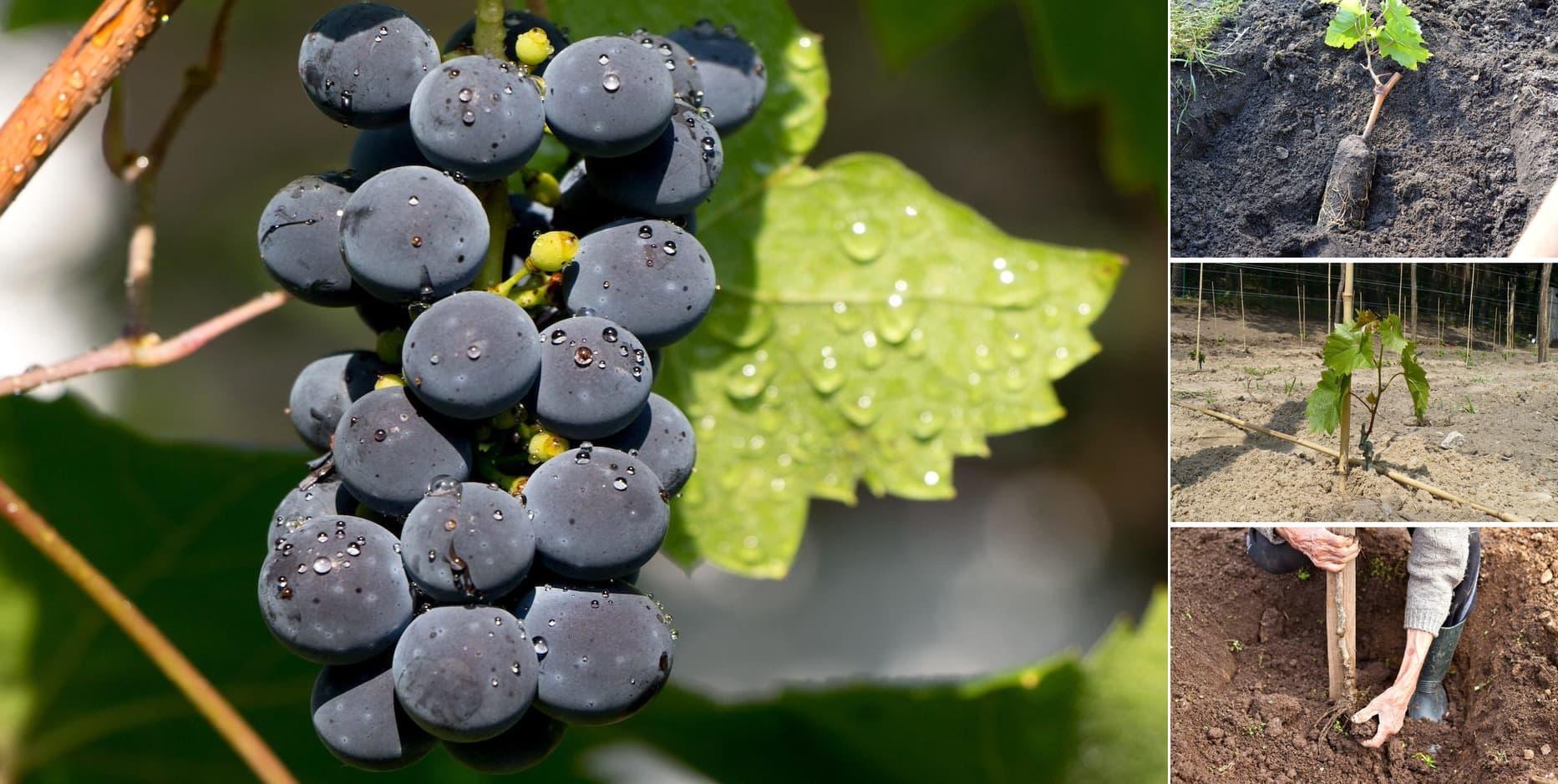 Правильная посадка винограда - залог раннего и хорошего урожая