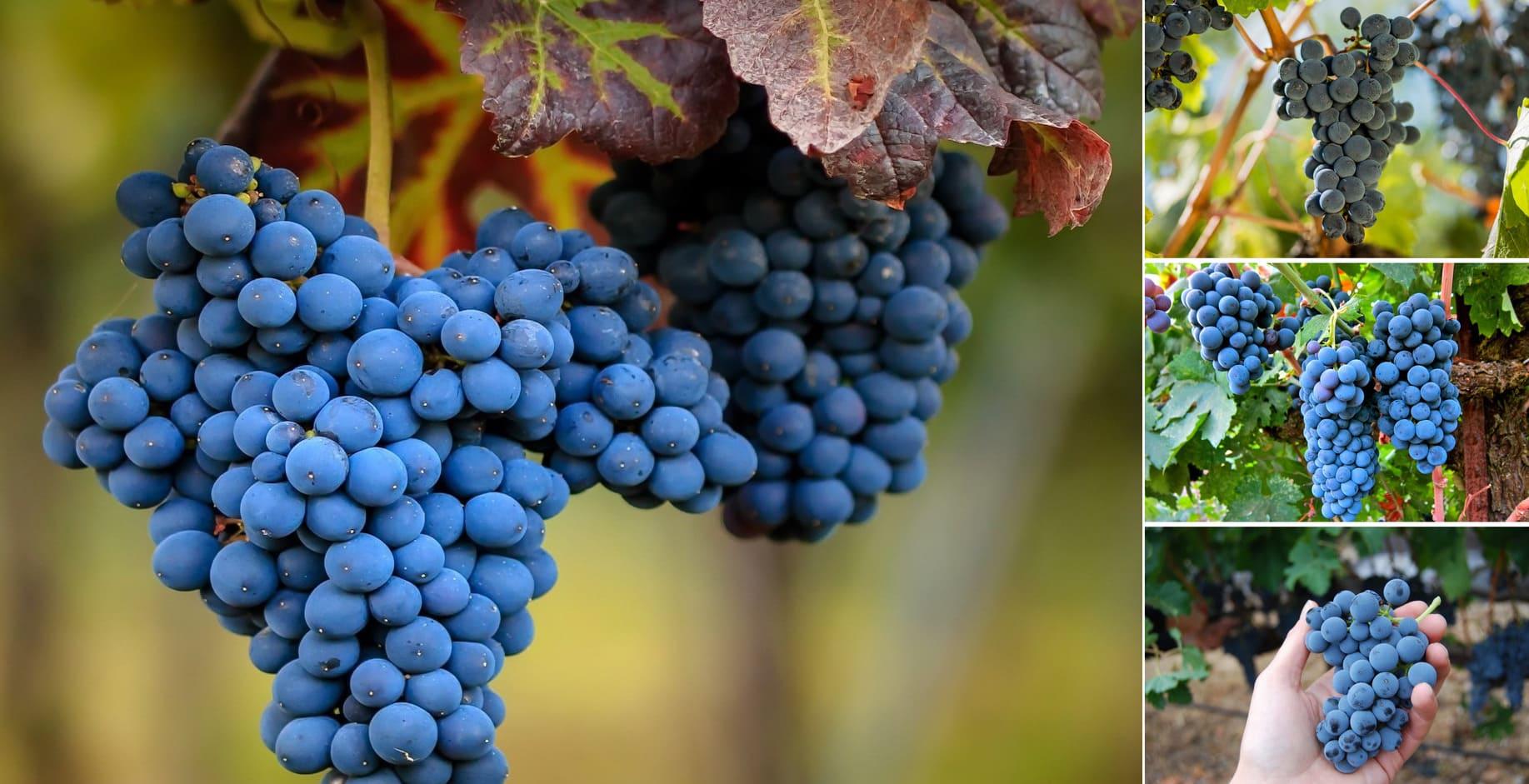 Виноград - растение довольно прихотливое, требующее особого ухода круглый год