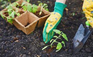 выращивание перца в теплице и открытом грунте